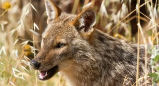 Scientists change their minds about the golden jackal -- here are some facts about it