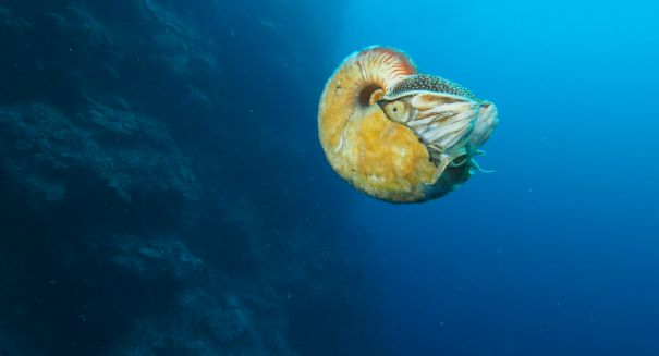 Biologist amazed after spotting ultra-rare nautilus for the first time in 30 years