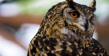 Spotted Owl Face close up in nature